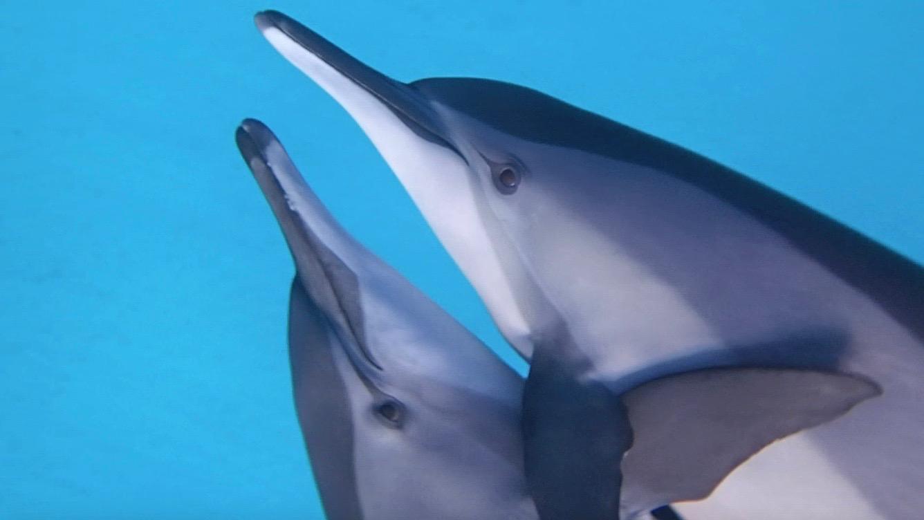 Spinner dolphins hugging