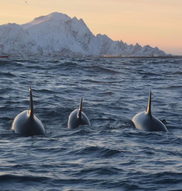 Orca's in Norwegian Fjord