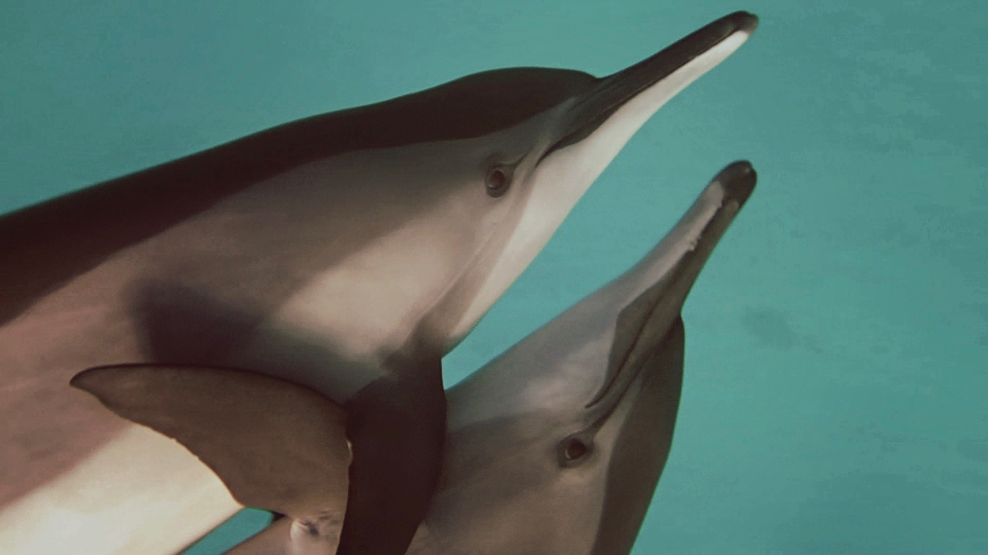 two spinner dolphins hug in the red sea